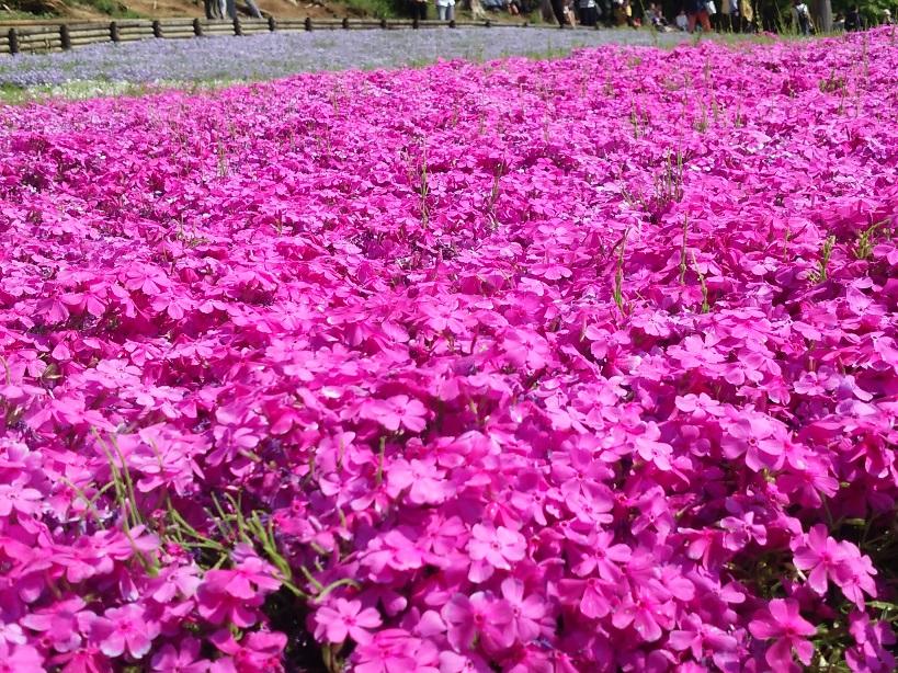満開を過ぎていたので、関東近郊では4月半ばくらいの方が見応えあるかもしれません