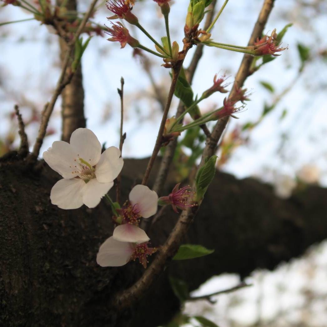 桜の健康診断。